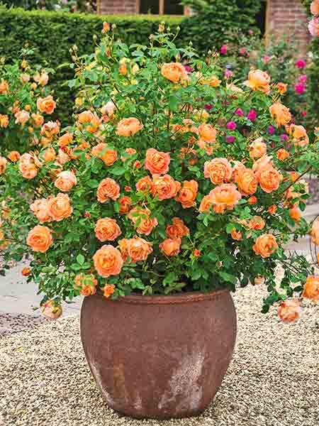 'Lady of Shalott' thrives in container gardens and has peach-orange blooms with a warm tea-rose fragrance; David Austin Roses.