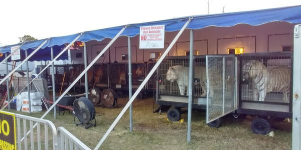 petition: Demand That Florida Fairs STOP Hosting Acts That Involve Big Cat Species!