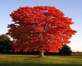Red Sunset Maple Trees - Thuja Gardens