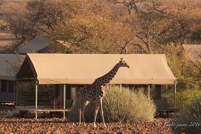 Giraffe in camp!