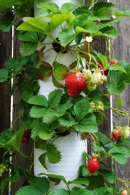 Strawberries in PVC pipe pot by tamara
