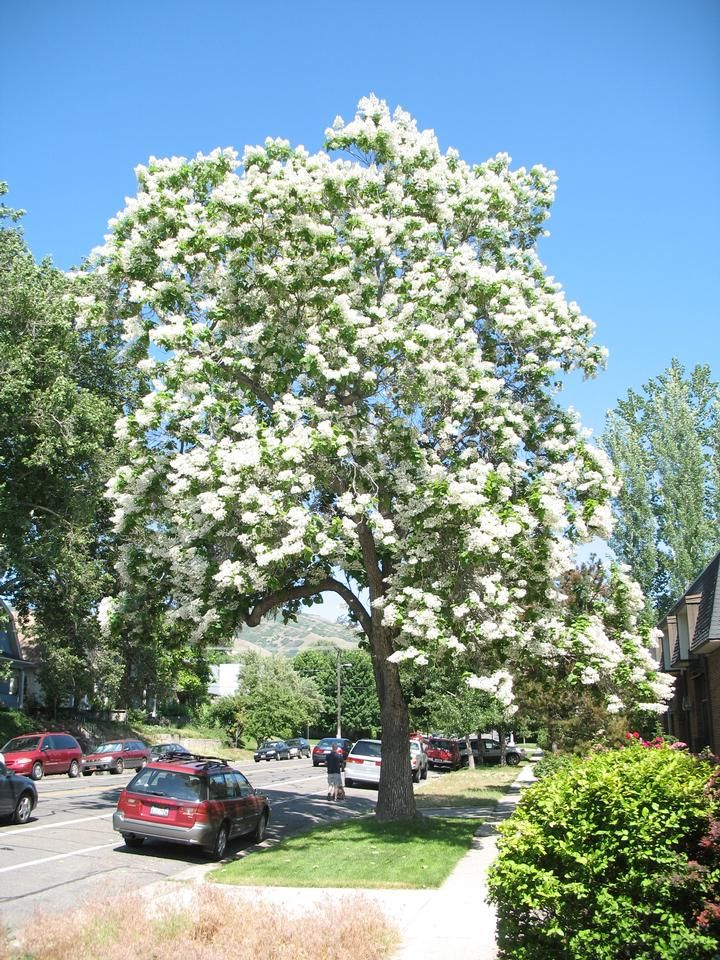 Family Bignoniaceae; Genus Catalpa; Species speciosa; Northern Catalpa, Western Catalpa, Cigar-tree
