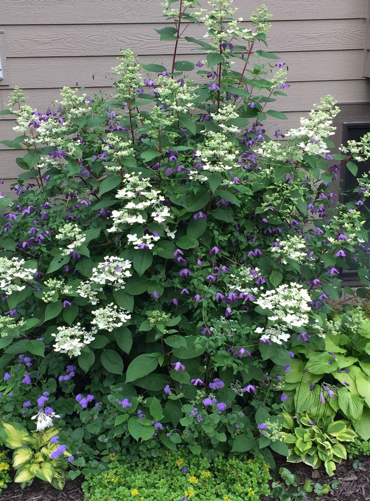 Hydrangea 'Quick Fire' combined with Clematis 'Little Bas'