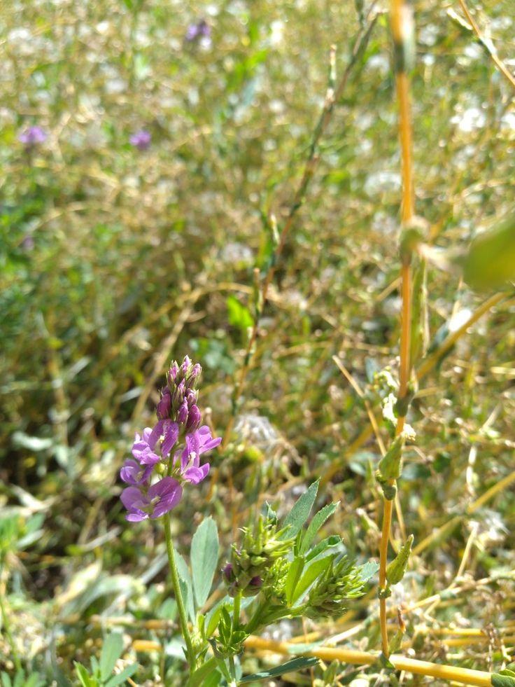 Alfalfa flower cluster flowers flowery plants