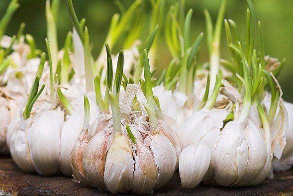 Tahukah sobat? Bagian sisa dari buah atau sayur yang kita makan bisa kita tumbuhkan lagi menjadi tanaman? Contohnya saja bawang putih cukup letakkan bawang di tanah yang subur dan diberi air. Pasti akan tumbuh menjadi tanaman bawang lagi! . . . #INDMIRA #IndmiraPic #Indmira #hydroponics #aquaponics #aqua #plantation #organicproducts #urbanfarming #vertikultur #verticalfarming #hidroponik #hidroponikindonesia #akuaponik #menanam #planting #gogreen #saveearth #savewater #noplastic #nolitering…