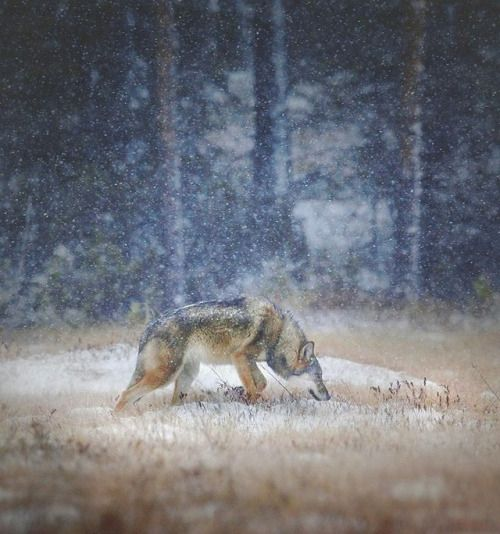 Gray wolf in Finland