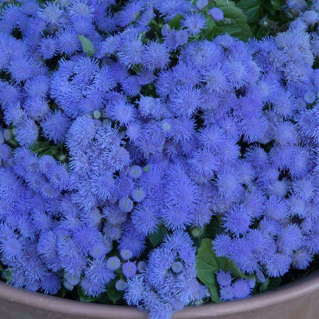 Mexican Paintbrush Blue 100 Seeds Ageratum Houstonianum Etsy Mosquito Repelling Plants Annual Bedding Plants Plants