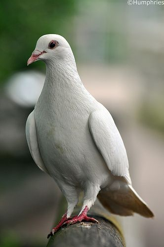 """White Dove * * """" I signify peace, but de present world certainly isn't behaving that way."""""""