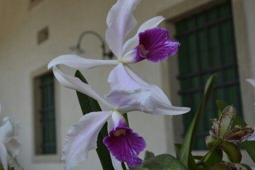 Orchidee di Vistorta
