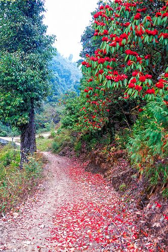 Rhododendrons flowers along the trail, Singalila National Park, Darjeeling, India | Flickr - Photo Sharing!