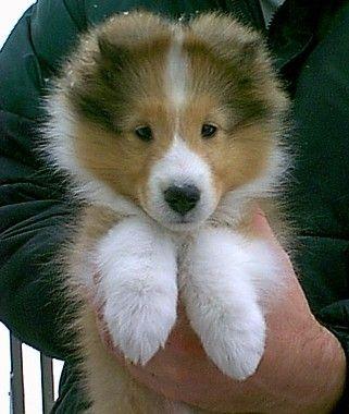 best 25 shetland sheepdog puppies ideas on pinterest shetland sheepdog collie puppies and. Black Bedroom Furniture Sets. Home Design Ideas