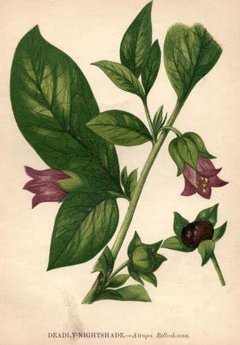 Deadly nightshade, or belladonna.