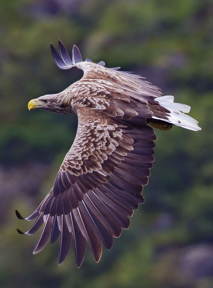 White-tailed eagle (Haliaeetus albicilla)— also called the Sea eagle, and White-tailed sea-eagle — is a large bird of prey in the family Accipitridae which includes other raptors such as hawks, kites, and harriers. It is considered a close cousin of the bald eagle and occupies the same ecological niche, but in Eurasia.