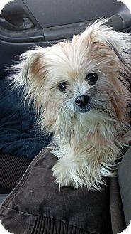 Glastonbury, CT - Maltese/Shih Tzu Mix. Meet Buttercup, a dog for adoption. http://www.adoptapet.com/pet/17208848-glastonbury-connecticut-maltese-mix