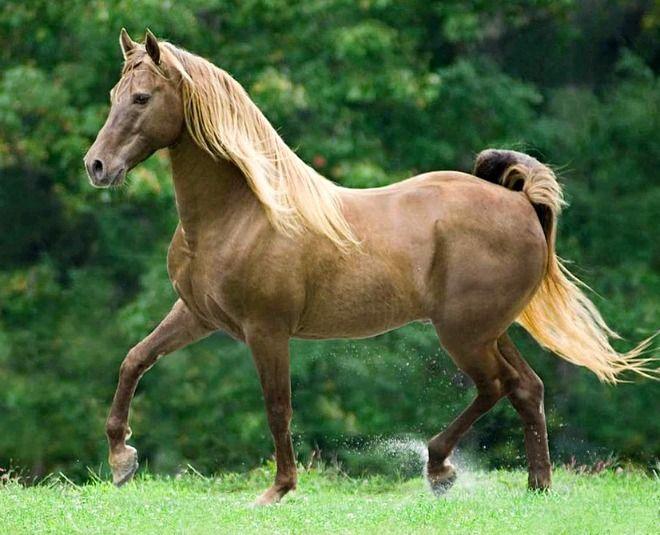 Rocky Mountain Horse stallion. photo: Mark Barrett.