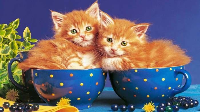 Широкоформатные обои Котята в чашках, Маленькие рыжие котята в чайных чашках