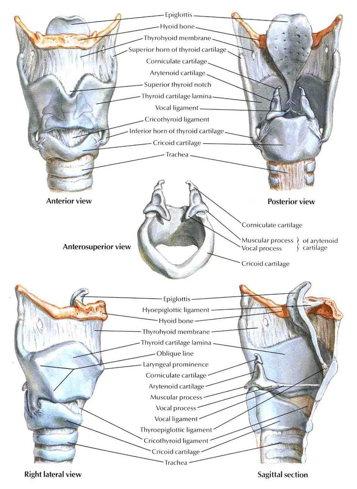 64 best Larynx Anatomy images on Pinterest | Anatomy, Anatomy ...