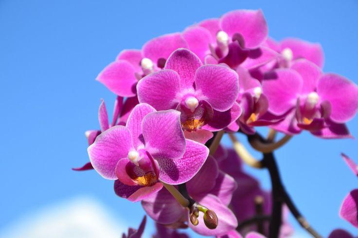 bloesem fabriek bloem bloemblad roze flora orchidee blauwe lucht paarse bloem macrofotografie bloeiende plant landplant mottenorchidee paarse orchideeën