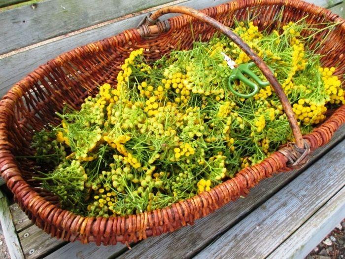 Трава пижма: полезные свойства