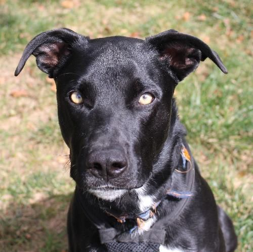 Mumford - Labrador Retriever/Greyhound mix - 3 yrs old -OutPaws - Denver, CO. - http://www.outpawsrescue.com/ - https://www.facebook.com/OutpawsRescue - http://www.adoptapet.com/pet/11523727-littleton-colorado-labrador-retriever-mix - https://www.petfinder.com/petdetail/30225605/