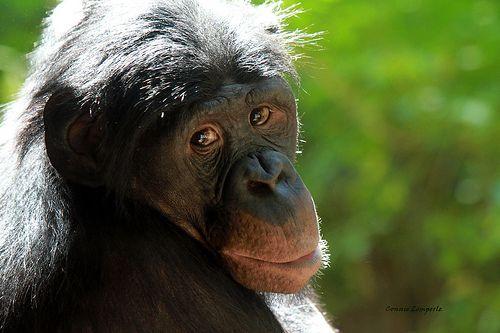 female bonobos social calls