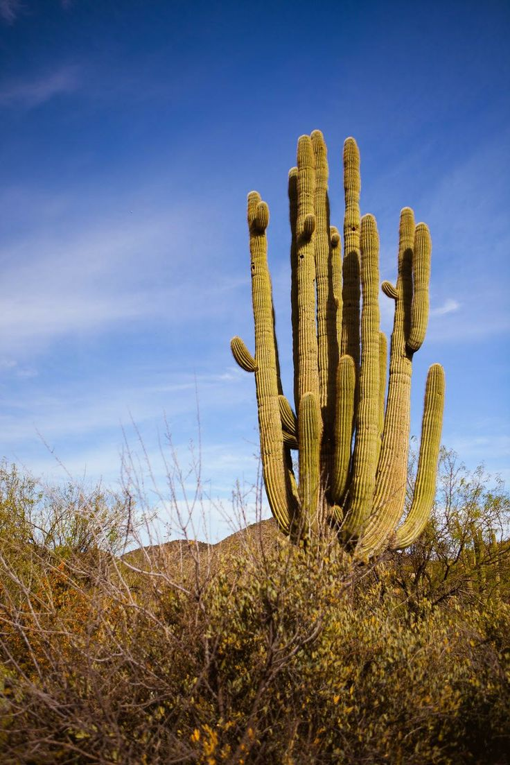 Giant Cactus! - Sagurao Cactus grow between 40-60ft! / blog.jchongstudio.com