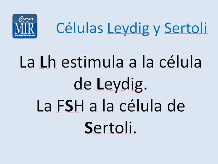 Células Leydig y Sertoli - #Ginecología