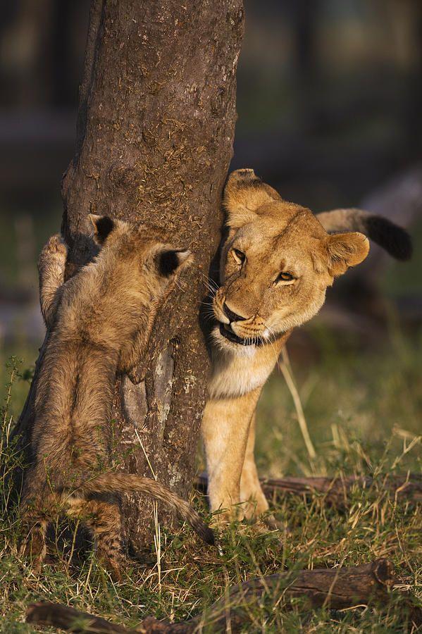 mature lioness age