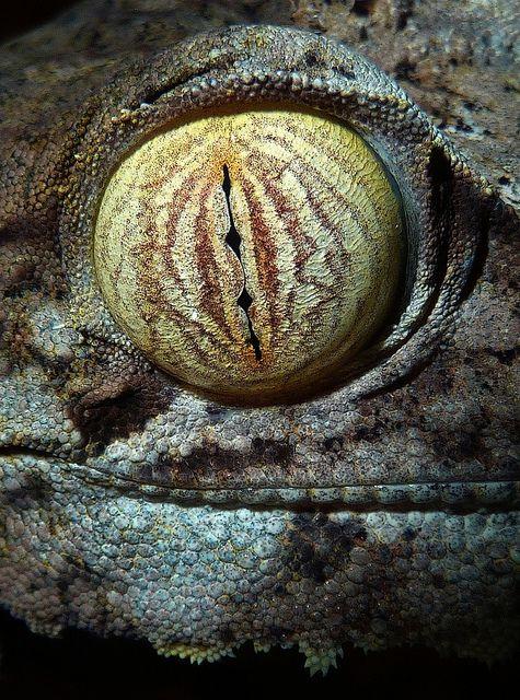 Uroplatus Eye by Ángel Febrero, via Flickr