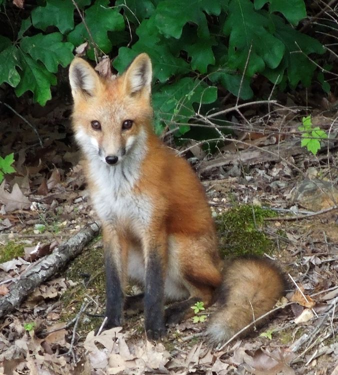 Red fox at Land Between The Lakes. Land between the