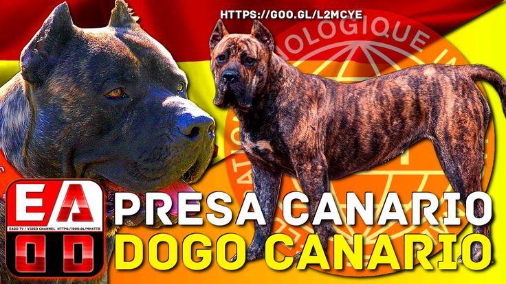 Presa canario puppies for sale in pa