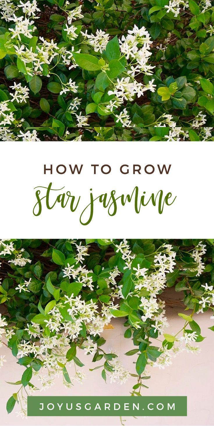 Star Jasmine Care And Growing Tips Joy Us Garden Jasmine Plant Backyard Flowers Plants