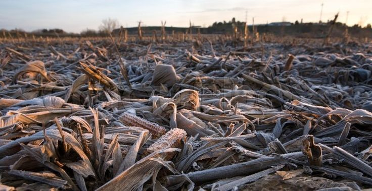 Stock image of 'Dry and frost mature corn ears leaves after the harvest. Shot…