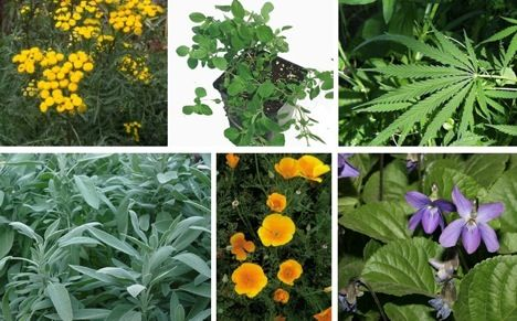 18 of Nature's Most Powerful Medicinal Plants Tansy - leaves rubbed on skin act as bug repellent Mint is famous for soothing headaches, fighting nausea, calming the stomach and reducing nervousness and fatigue. Korean mint, also called Indian mint and hyssop, is a fairly effective antiviral, making it useful for fighting colds and the flu. Alfalfa - high amount of protein for a green