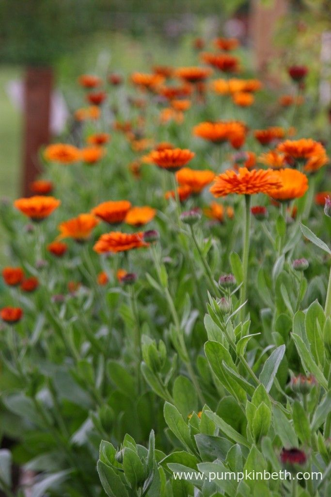 Calendula officinalis, a super plant for bees and butterflies.