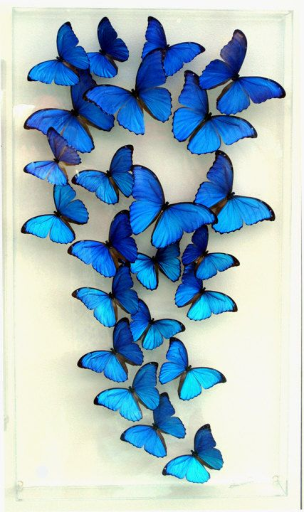 "Giant Blue Morpho Didius Butterflies  18 x 32 x 3"" Deep Blue Morpho Display. ""Spectacular Morphos"""