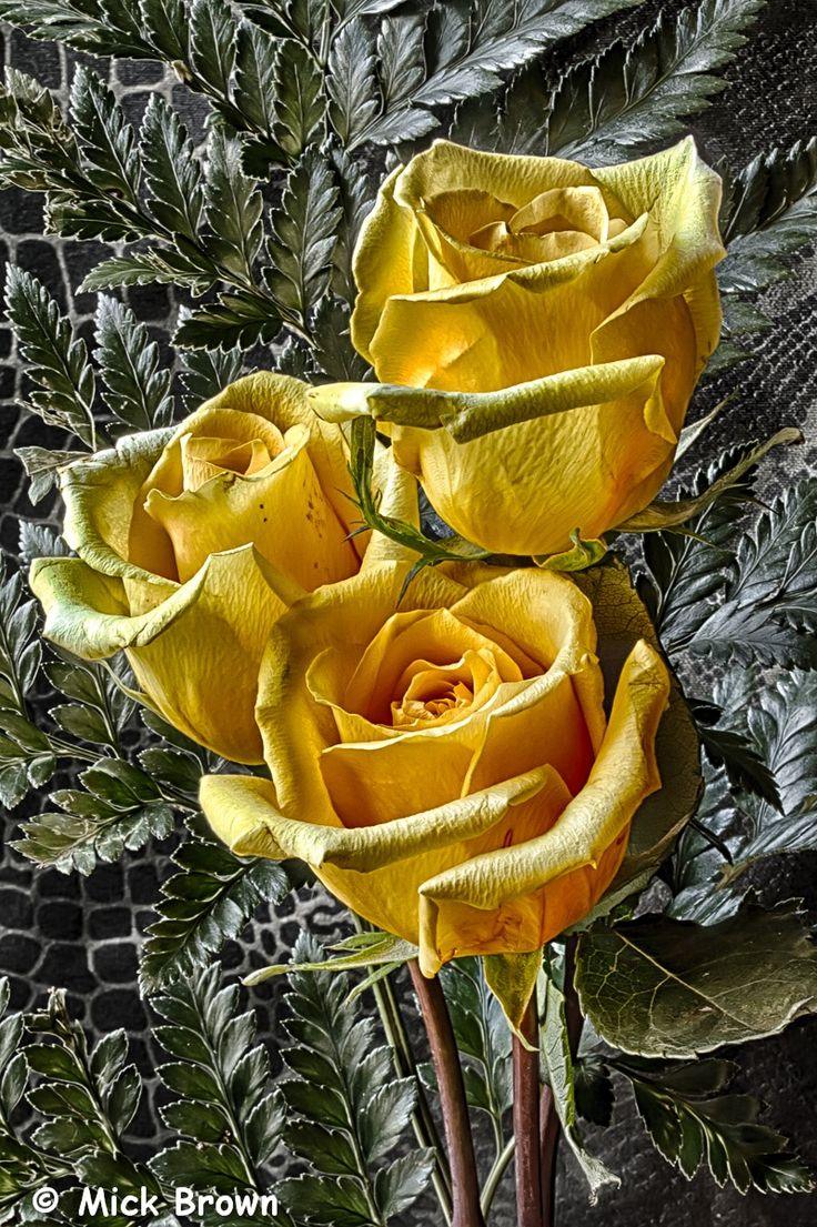 Yellow rose yellow rose meaning yellow roses - Yellow Rose 5892 Hdr Testing New Macro Lens