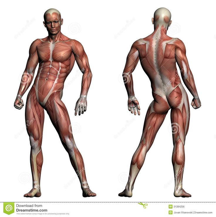 60 best anatomy images on pinterest, Muscles