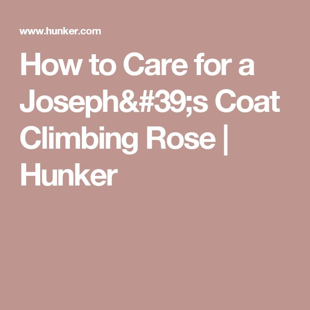 How to Care for a Joseph's Coat Climbing Rose | Hunker
