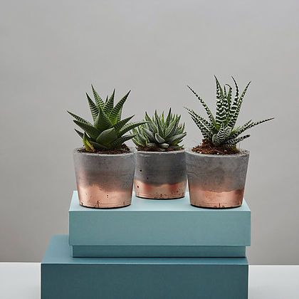 Loving these copper dipped planters new in on ohwhatsthis.com - potted with Haworthia! Made by Geo - Fleur.