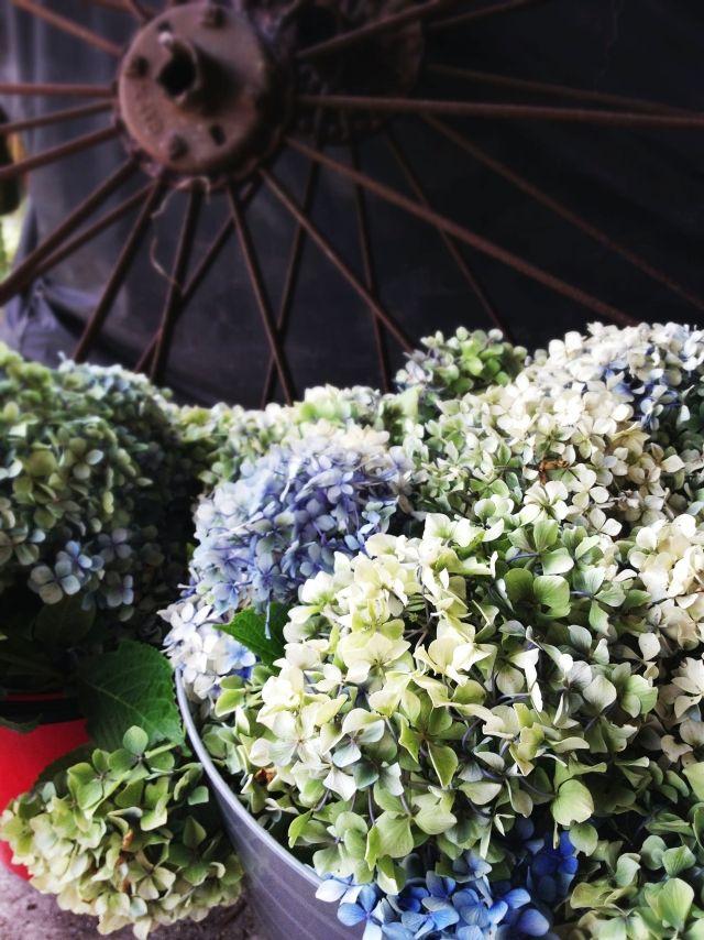 Hortensien Im Garten Tipps Zum Pflanzen Pflegen Düngen