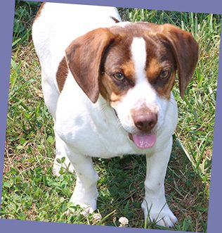 Brutus is an adoptable Beagle searching for a forever family near Charles Town, WV. Use Petfinder to find adoptable pets in your area.