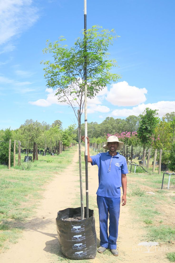 100L Caesalpinia ferrea. The deciduous Leopard tree is named so because of its beautifully textured bark. Originating from Brazil, its delicate branches and attractive leaves cast light shade that is suitable for grass-growing.