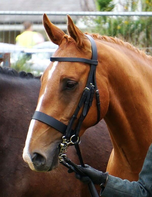 """FSS German Traditional English Working Hunter Show Hunt Double Bridle Wide 3 4""""   eBay"""