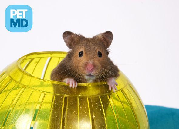 Are Hamster Balls Dangerous Hamsters As Pets Hamster Care Cute Hamsters