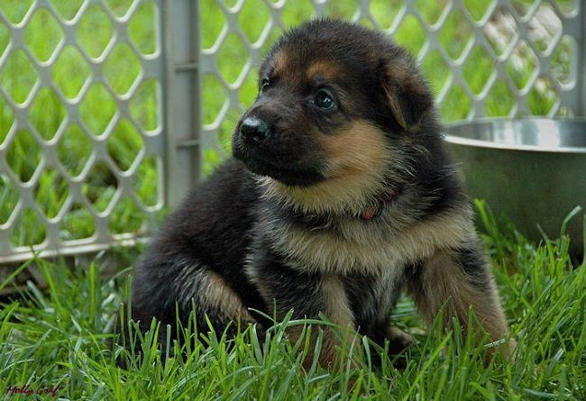 German Shepherd Puppies For Sale In Ohio Cute Puppies Germanshepherdpups German Shepherd Puppies Puppies Marine Dog