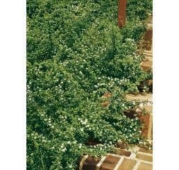 Cotoneaster dammeri  ´Coral Beauty´ / Skalník rozložený, 25-30 cm, K9