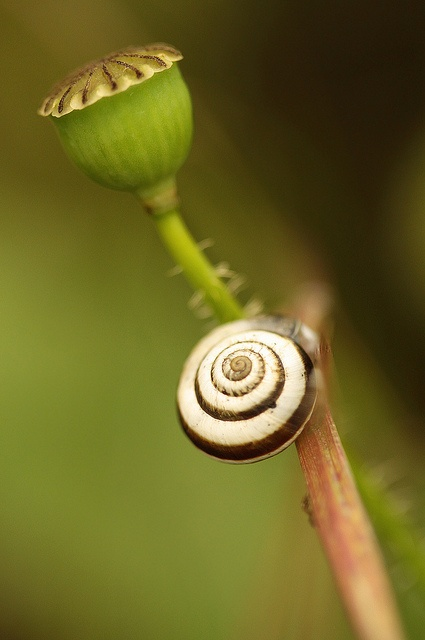Banded snail and the poppy seed by felixtree, via Flickr (felixtree, 2012)