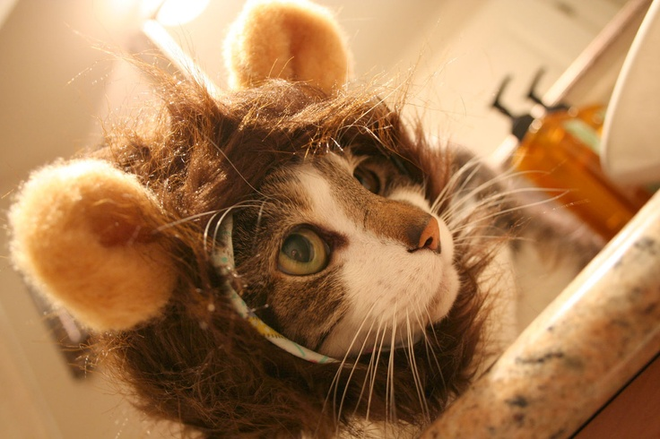 Monkey Hat for Cats. $25.00, via Etsy.Hats Cat, Monkeys Hats, Mane Hats, Crazy Cat, Funny Animal, Ferocious Lion, Things Cat, Halloween, Cat Lady