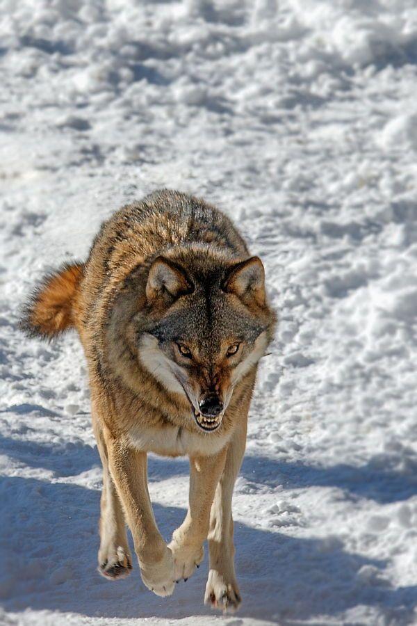 female lone wolf 野生動物 狼 画像 かっこいい動物